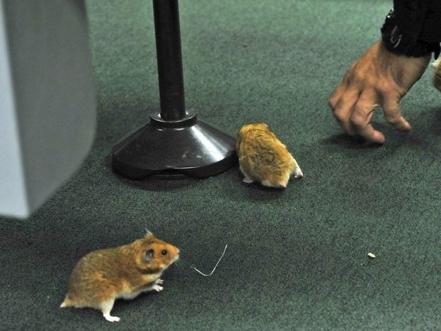 Homem solta ratos no plenário da CPI durante depoimento de Vaccari