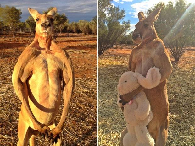 Canguru fortão de 2 metros comanda santuário e põe cuidador para correr
