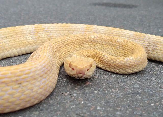 Jararaca albina é capturada em casa de Jaraguá do Sul